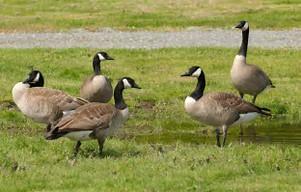 Geese - Ornithophobia
