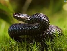 Snake - Ophidiophobia